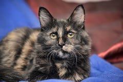 Beautiful tortie cat Royalty Free Stock Photos