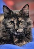 Beautiful tortie cat Stock Images
