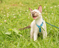 Beautiful tortie point Siamese kitten in a blue harness Royalty Free Stock Image