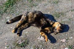Beautiful tortoiseshell cat, pregnant, with a big belly, lying on the ground. Concept- sterilization of animals, care for Pets stock photography