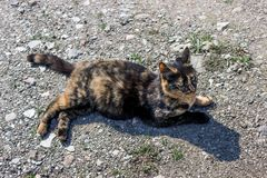 Beautiful tortoiseshell cat, pregnant, with a big belly, lying on the ground. Concept- sterilization of animals, care for Pets. royalty free stock image