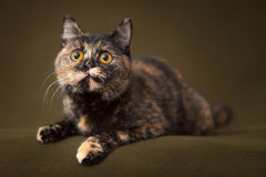 Beautiful tortoiseshell cat with yellow eyes royalty free stock images