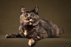 Beautiful tortoiseshell cat with yellow eyes. Lying on blanket stock photo