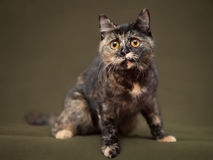 Beautiful tortoiseshell cat with yellow eyes Stock Photos