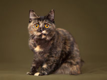 Beautiful tortoiseshell cat with yellow eyes Royalty Free Stock Photo