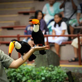 Beautiful Toucan. In Singapore Zoo Royalty Free Stock Image