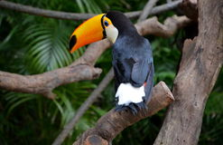 Beautiful toucan Royalty Free Stock Images