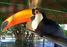 Beautiful toucan with its expressive beak stock image