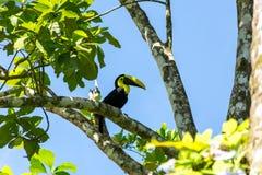 A beautiful toucan Stock Image