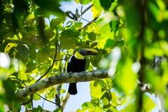 A beautiful toucan Stock Photography