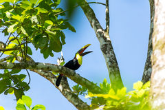 A beautiful toucan Royalty Free Stock Image
