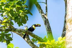 A beautiful toucan Royalty Free Stock Images