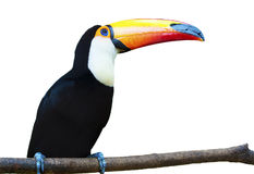 Beautiful Toucan on White Background. A beautiful portrait of a toucan against a white background royalty free stock photos