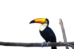 Beautiful Toucan on White Background Stock Photo