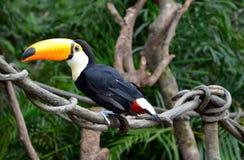 Beautiful toucan Stock Photography