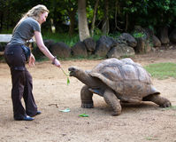 Beautiful tourist woman feeds a turtle Royalty Free Stock Image