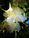 Beautiful Toxic White and Cream Datura Flowers. Brugmansia Candida, also known as Angel`s Trumpet is a toxic plant with beautiful blooms that hang like a pendant Royalty Free Stock Photography