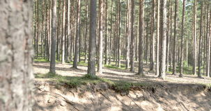 The beautiful trail of the pine trees in the forest stock footage