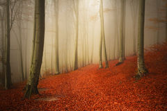 Beautiful trail with red leaves in foggy forest Royalty Free Stock Image