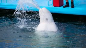 A beautiful, trained white whale emerges from the water in an outdoor pool and blows a stream of water, creating a spray
