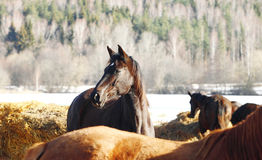 Beautiful Trakehner horse Royalty Free Stock Photography