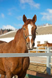 Beautiful Trakehner horse. In farm Stock Images