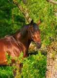 Beautiful trakehner horse near the tree Royalty Free Stock Images