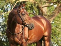 Beautiful trakehner stallion. Outdoor summer Royalty Free Stock Photos
