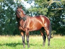 Beautiful trakehner stallion. Outdoor summer Royalty Free Stock Image