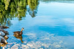 Female mallard duck, on the rocks of the shallow area of still r. Beautiful, tranquil mallard duck stands in the still lake water which is covered with water Royalty Free Stock Images