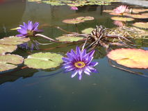 Beautiful tranquil purple pond lily Stock Image