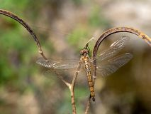 Beautiful transparent dragonfly on a branch, Namibia Stock Images