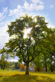 Beautiful tree. One wonderful autumn tree on a background autumn natures Royalty Free Stock Image