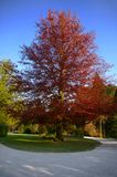 Beautiful tree. A beautiful deep red tree with blue sky background stock image
