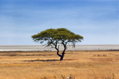 Beautiful tree in African savanna Stock Images