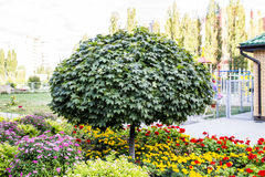 Beautiful tree on a background of flower beds. Beautiful tree on a background of bed Stock Image