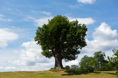 Beautiful tree with big trunk on top of a hill with blue sky in summer Royalty Free Stock Images