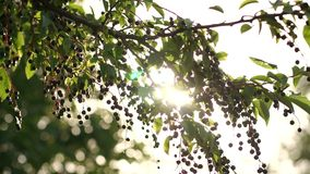 Beautiful tree with black berries with sunlight. Beautiful tree with black berries with the sunlight. The sun`s rays breaking through the tree with black stock video footage