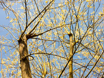 A beautiful tree with blooming buds on it Royalty Free Stock Photos