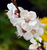 Beautiful tree blossom. In the spring Royalty Free Stock Images