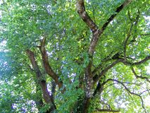 Beautiful tree branches aspect. Beautiful tree branches detail in summer time Royalty Free Stock Photos