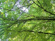 Beautiful tree branches aspect. Beautiful tree branches detail in summer time Royalty Free Stock Images