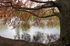 Beautiful tree with branches and leaves stretching out over water Stock Photography