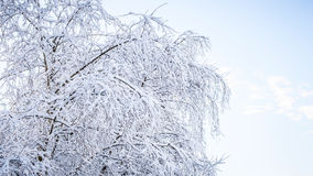 Beautiful tree branches snowy Royalty Free Stock Photos