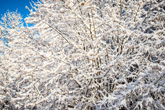 Beautiful tree branches snowy Royalty Free Stock Image