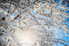 Beautiful tree branches snowy Stock Image