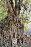 Beautiful tree with Buddha's head Royalty Free Stock Photography