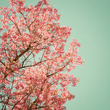 Beautiful of tree cherry pink flower in spring royalty free stock photos