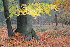 Beautiful tree with colored leaves. Trees in forest with beautiful colored leaves in autumn royalty free stock image