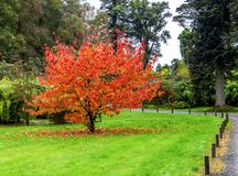 A beautiful tree with falling colourful red and orange leaves during autumn season in Benmore Botanic Garden, Scotland. A beautiful tree Davidia Involucrata from stock photos
